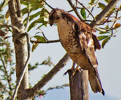 Variable Hawk (Juvenile)