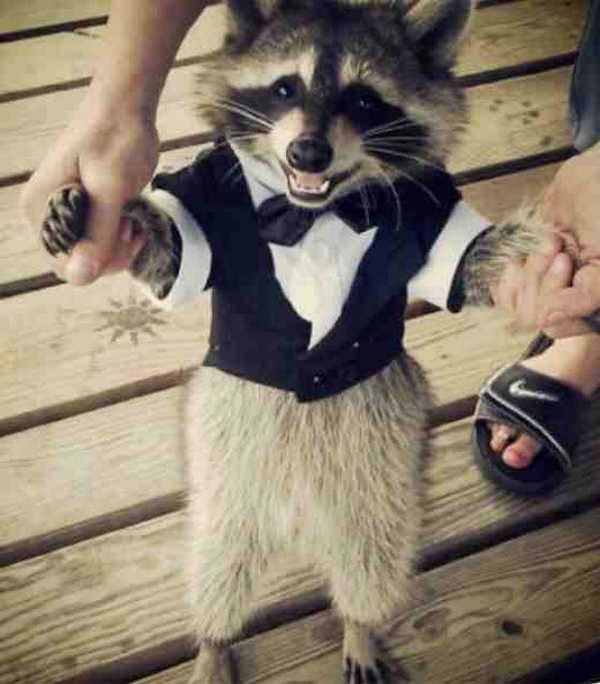 Funny animals of the week - 17 January 2014 (40 pics), raccoon wears tuxedo