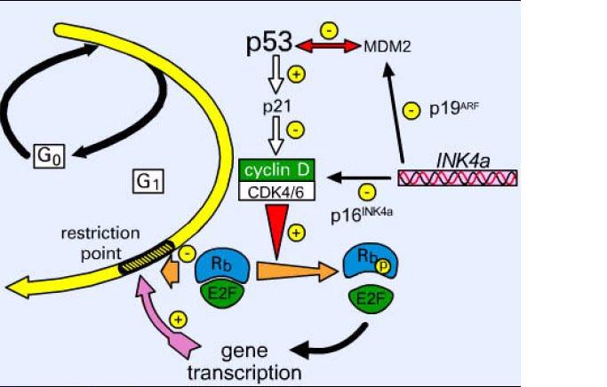 Proses siklus sel pada mamalia dan peran p53 dalam siklus sel bila ada kerusakan dna karena x rays uv atau yang lain maka atmatr kinase akan diaktifkan yang akan mengaktifkan chk1chk2 kinase dimana chk1chk2 ccuart Images