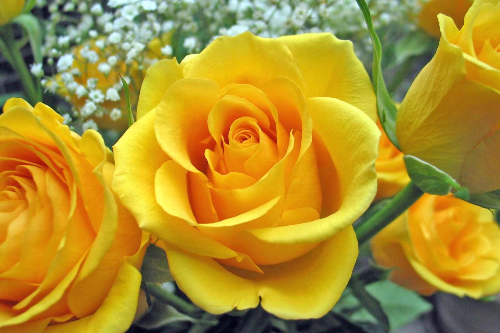 Romantic Flowers: Yellow Rose Flower