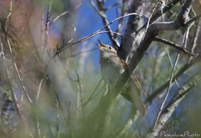 Rossignol philomèle (Luscinia megarhynchos), Nightingale