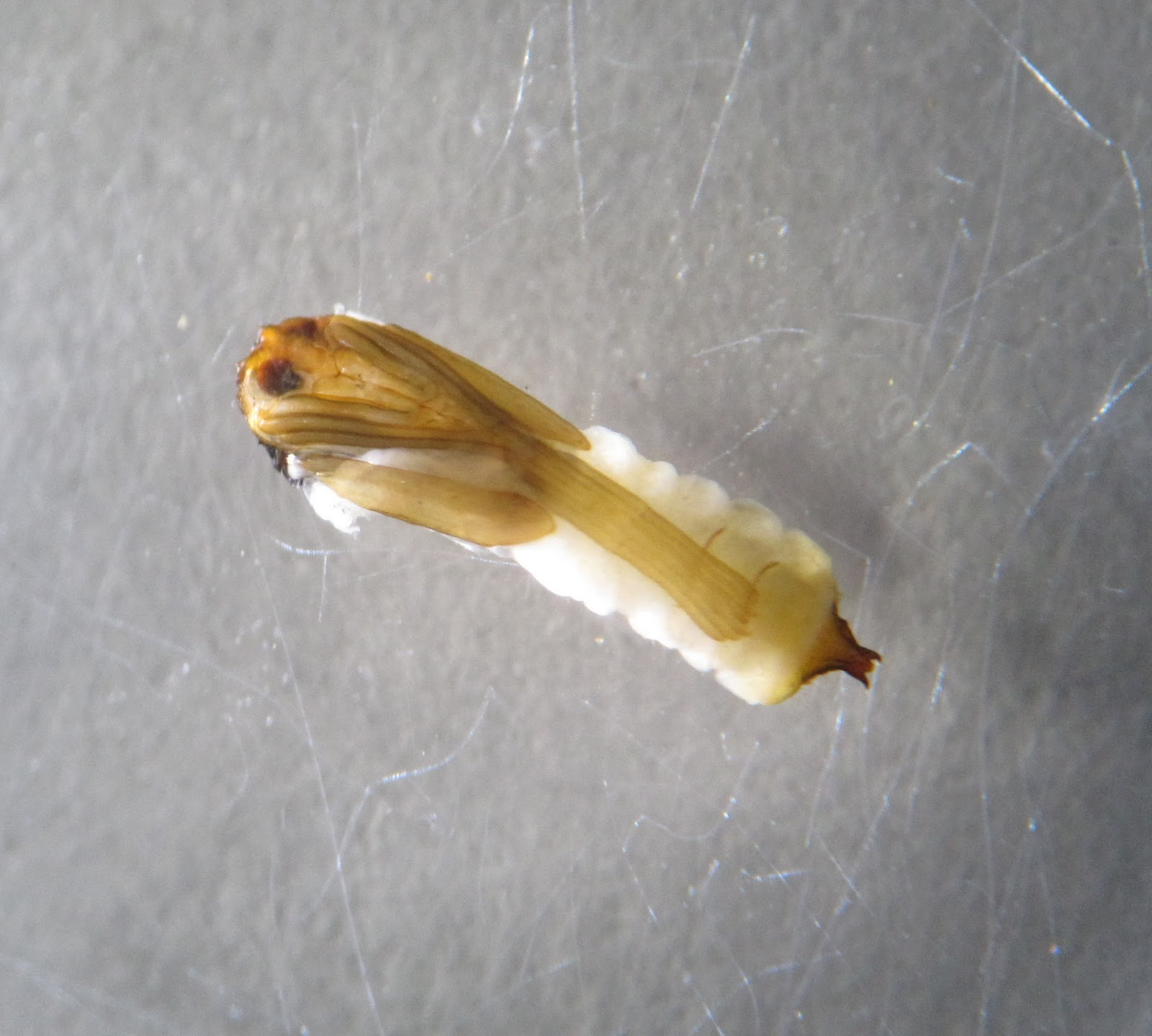 Crane fly pupae - photo#2