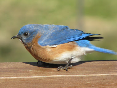 Bluebird Steadying Himself during Strong Winds