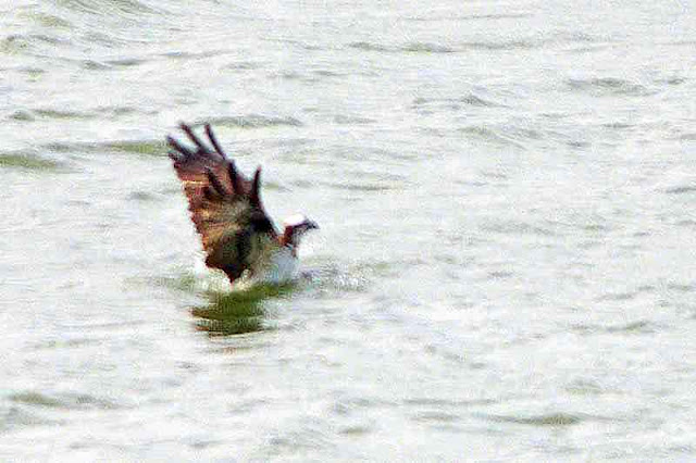 osprey, bird, half submerged in water