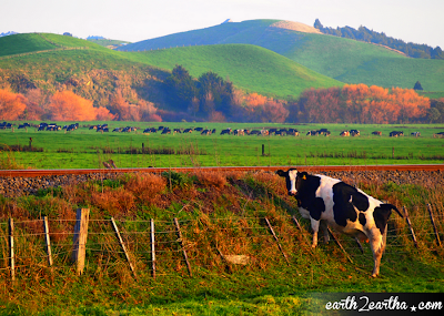 A Cow in New Zealand