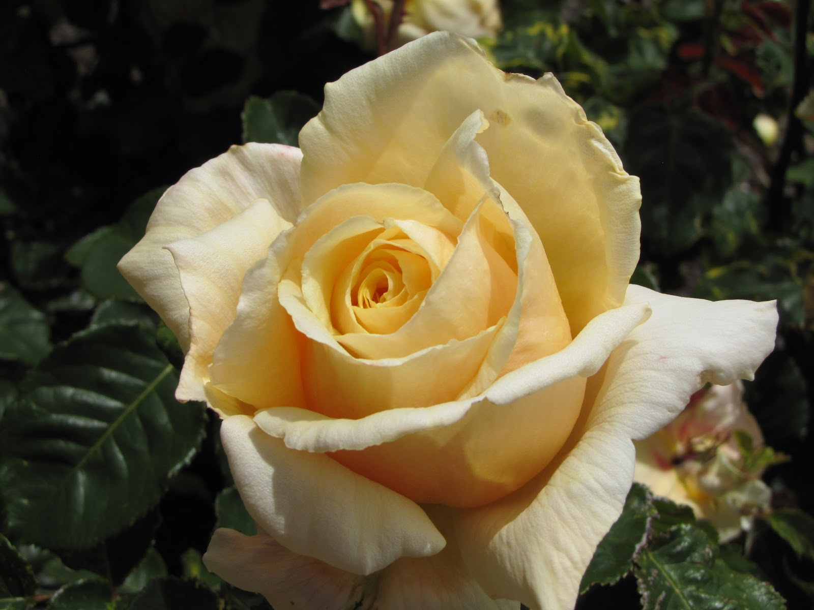 Photographing new zealand cream colored roses for Cream rose wallpaper