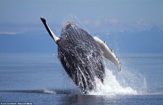 صـــــور مذهـلة للحيتان الحدباء وهي ترقص في مياة المحيط الهادئ في ألاسكا  Humpback%20whales09