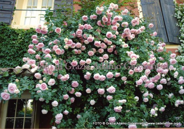 Pensieri in forma di rosa pierre de ronsard for Pierre de ronsard rosa