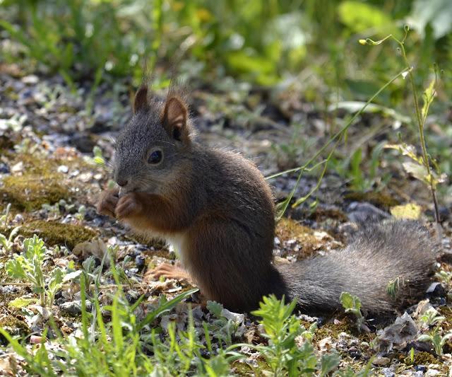 luontokuva oravasta syömässä