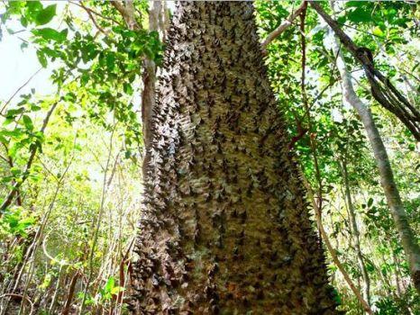 http://2.bp.blogspot.com/-AjFQSmAec5U/TtcJ3Erlw3I/AAAAAAAAJjA/RF55hPRfZWM/s1600/Hura+Brasiliensis.jpg