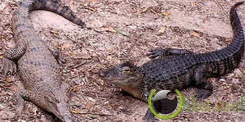 Buaya sahul (Crocodylus novaeguineae)