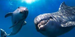 OMG! Lumba-lumba Temukan Torpedo di Laut dari daniel maulana