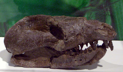 Repemomamus skull