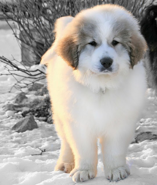 3 Adorable Cute Pyrenees puppy