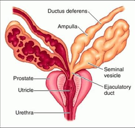 sperma-i-sok-prostati-v-chem-raznitsa