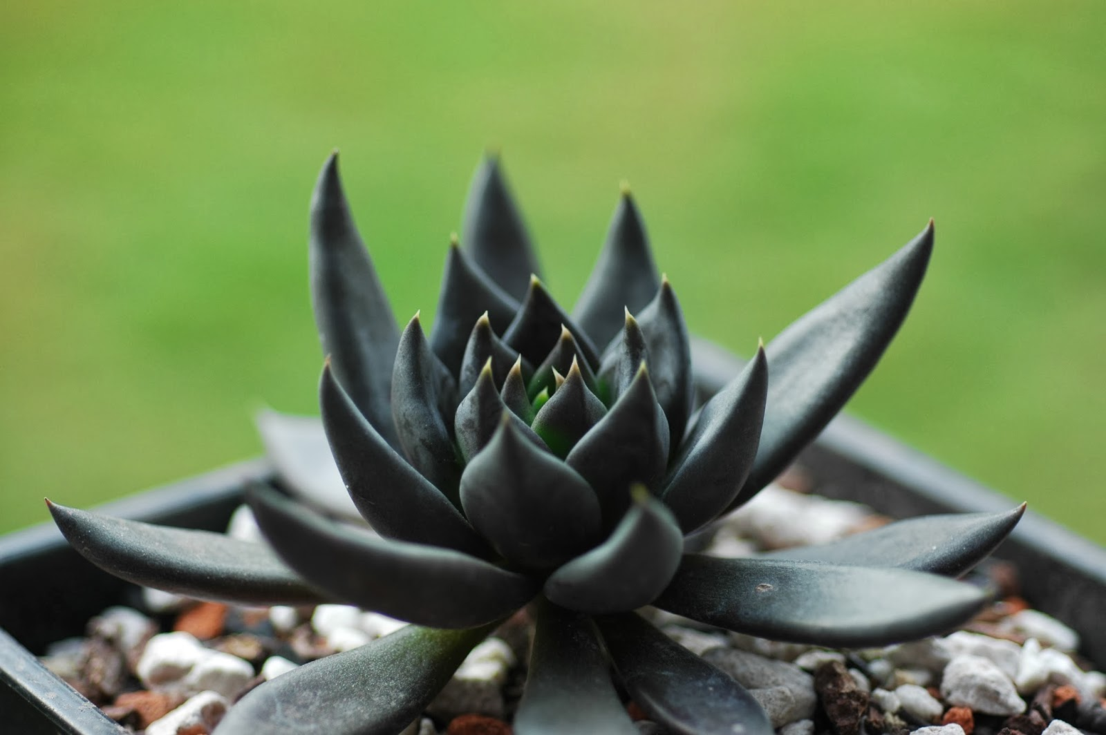 u591a u5bf6 u5712 the dobo garden   u9ed1 u6b66 u58eb echeveria cv  black knight