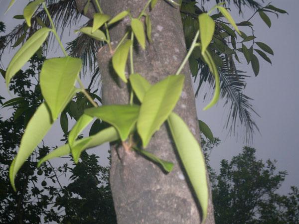 Adapun jenis pohon gaharu dan penyebarannya di indonesia adalah: