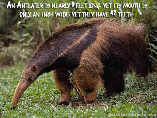animal facts, facts about animals, interesting animal facts, anteaters fact
