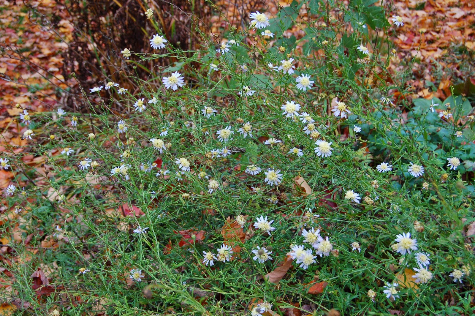 3 gardens in quebec october blooms in my garden at your left these small white daisy type flowers are of an unknown cultivar of mayweed chrysanthemum parthenium they are short lived perennials and mightylinksfo