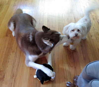 My Husky is hogging their new PetSafe Pogo Plush bee toy