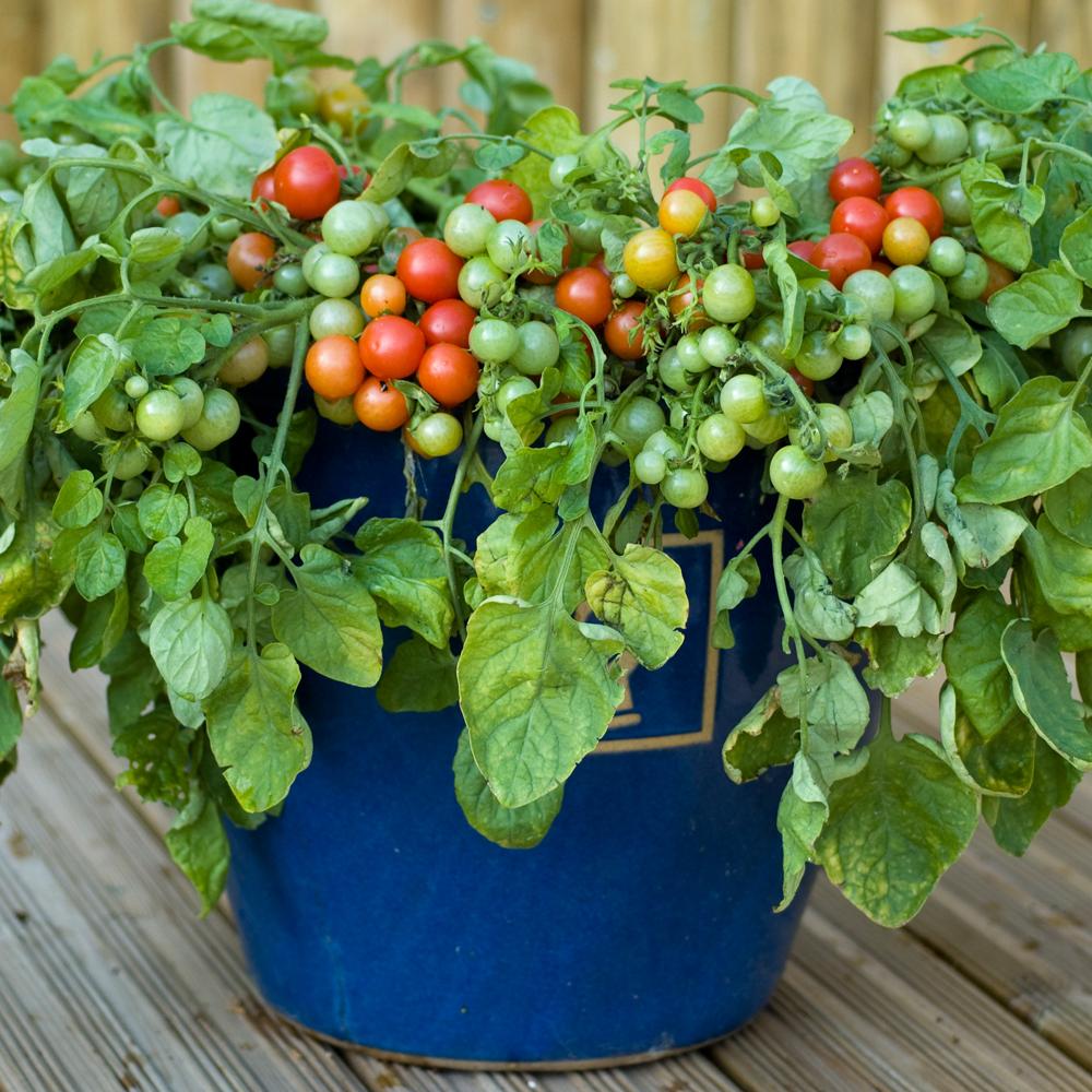 Tomates en el balc n ecoexperimentos - Tomates cherry en maceta ...