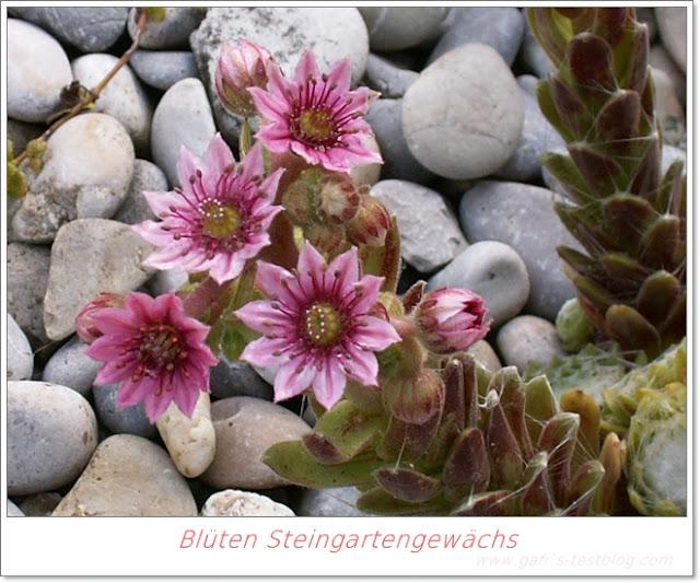 Blüten Steingartengewächs