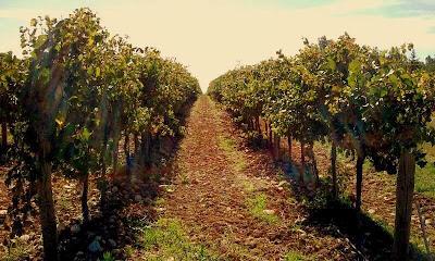 orvieto wine