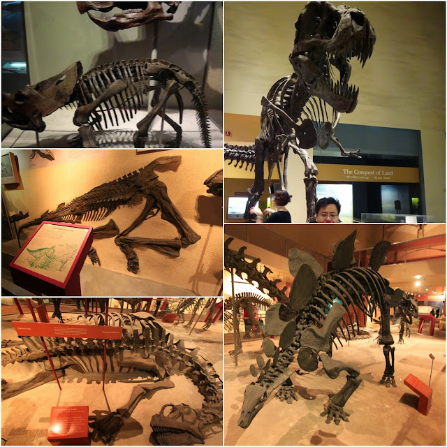 The bone skeleton of different dinosaurs at National History Museum in Washington DC, USA