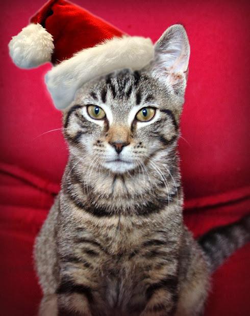 Cat with Santa Hat