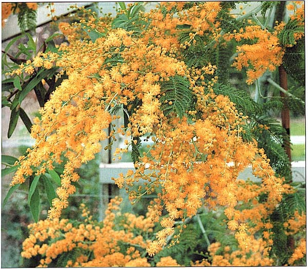 Acacia dealbata (Акация серебристая)