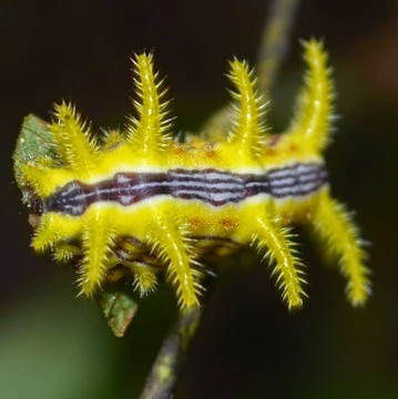 Beautiful yellow stinging rose moth caterpillar (Parasa indetermina)