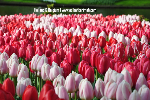 holiday to holland and belgium with premium beautiful at keukenhof with red and pink tulips