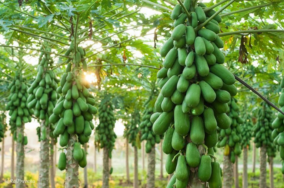 เคล็ดลับ ปลูกมะละกอลูกดก เพียง 8 ไร่ ได้ 4 ตัน