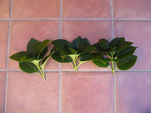 tres-ramas-hortensia-esquejes