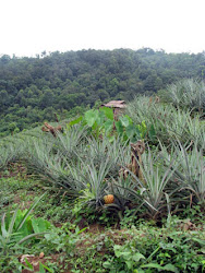 A pineapple farm in Nagaland