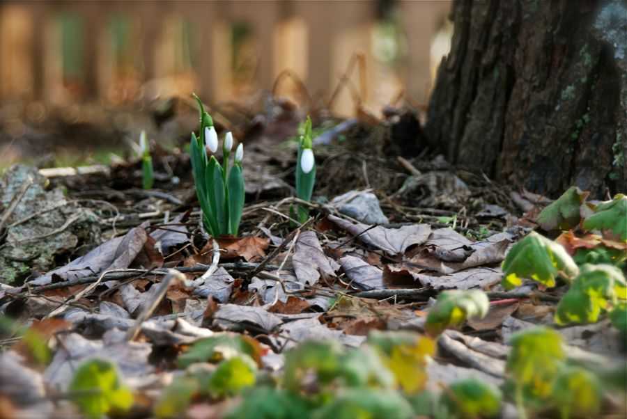 One little groups of snowdrops (Galanthus elwesii) popped up on the Shade Path just for Bloom Day.