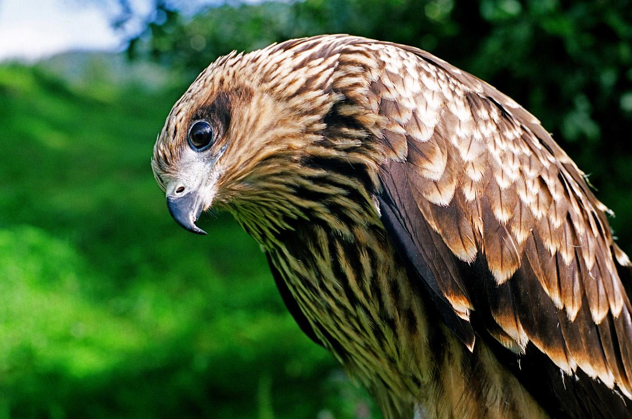 WildLife: Bird Prey Wallpapers For Desktop 2011