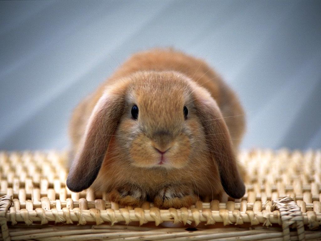 Breeding rabbits - tips rabbit breeders
