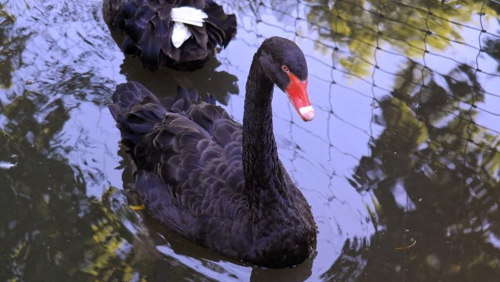 Cisnes negros - Parque e zoológico Tierpark Lange Erlen Basel Suíça