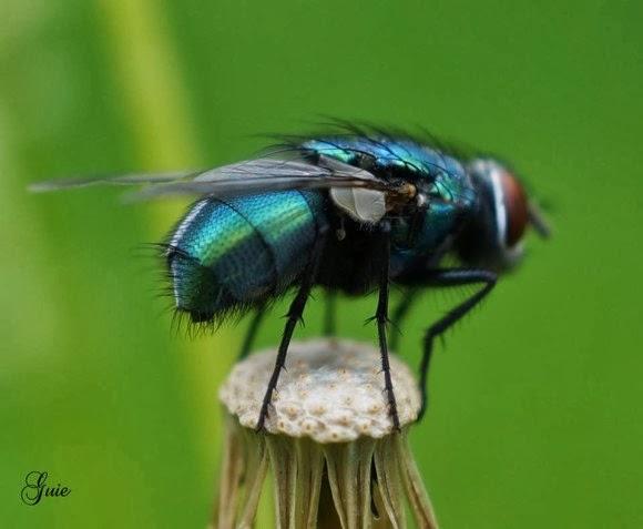 Una mosca azul