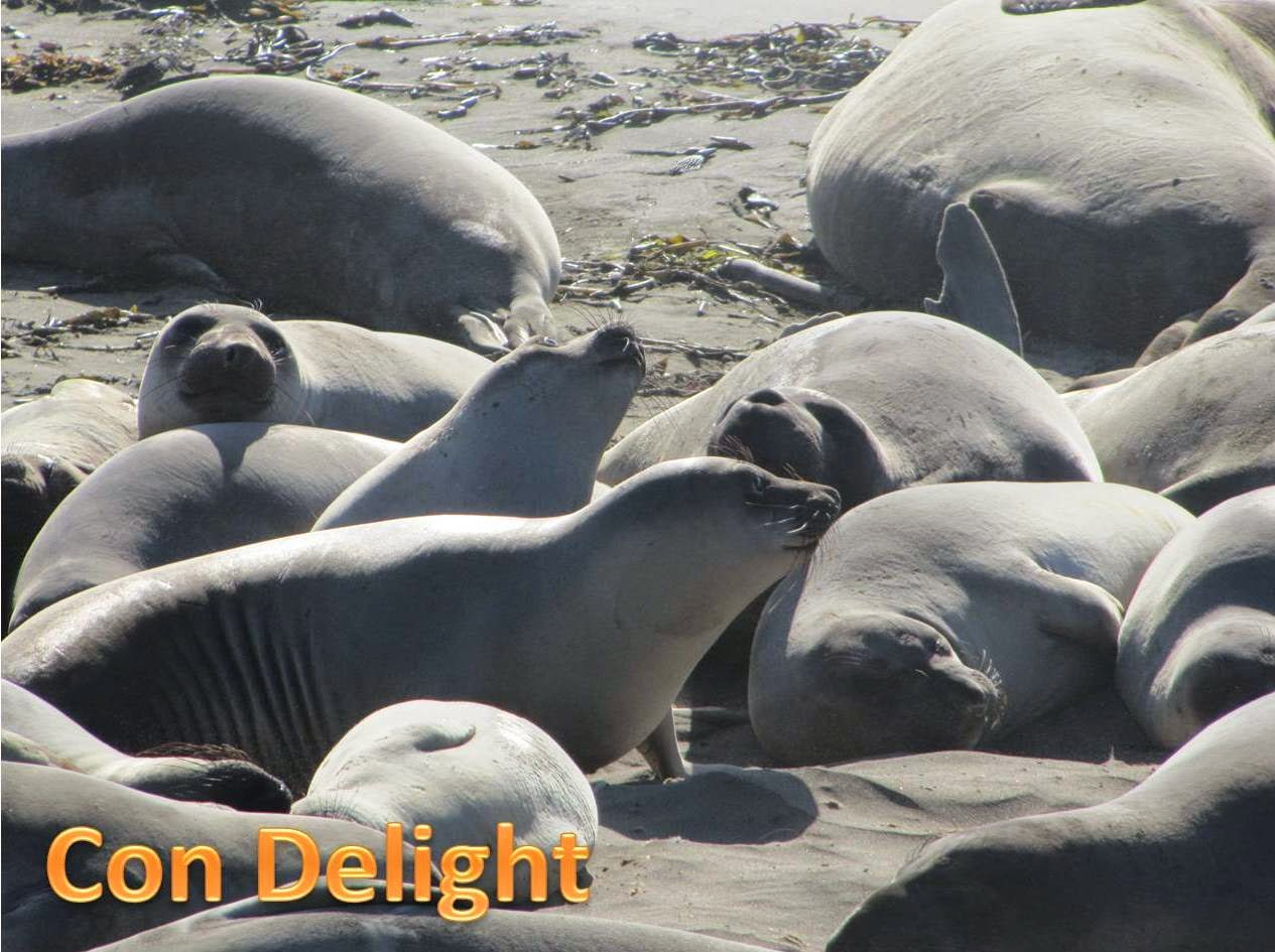 a lot of elephant seals