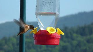 Sequim hummingbirds