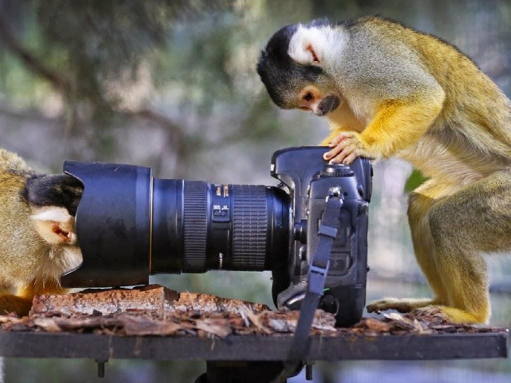 "<img src=""http://2.bp.blogspot.com/-Ao2QCcCsj-U/UtkNf6DAisI/AAAAAAAAIcQ/zg2WTIAdXCs/s1600/animal-wallpapers-primates-monkey-cam.jpeg"" alt=""monkey cam"" />"