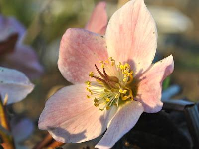 Морозник черный (Helleborus niger)