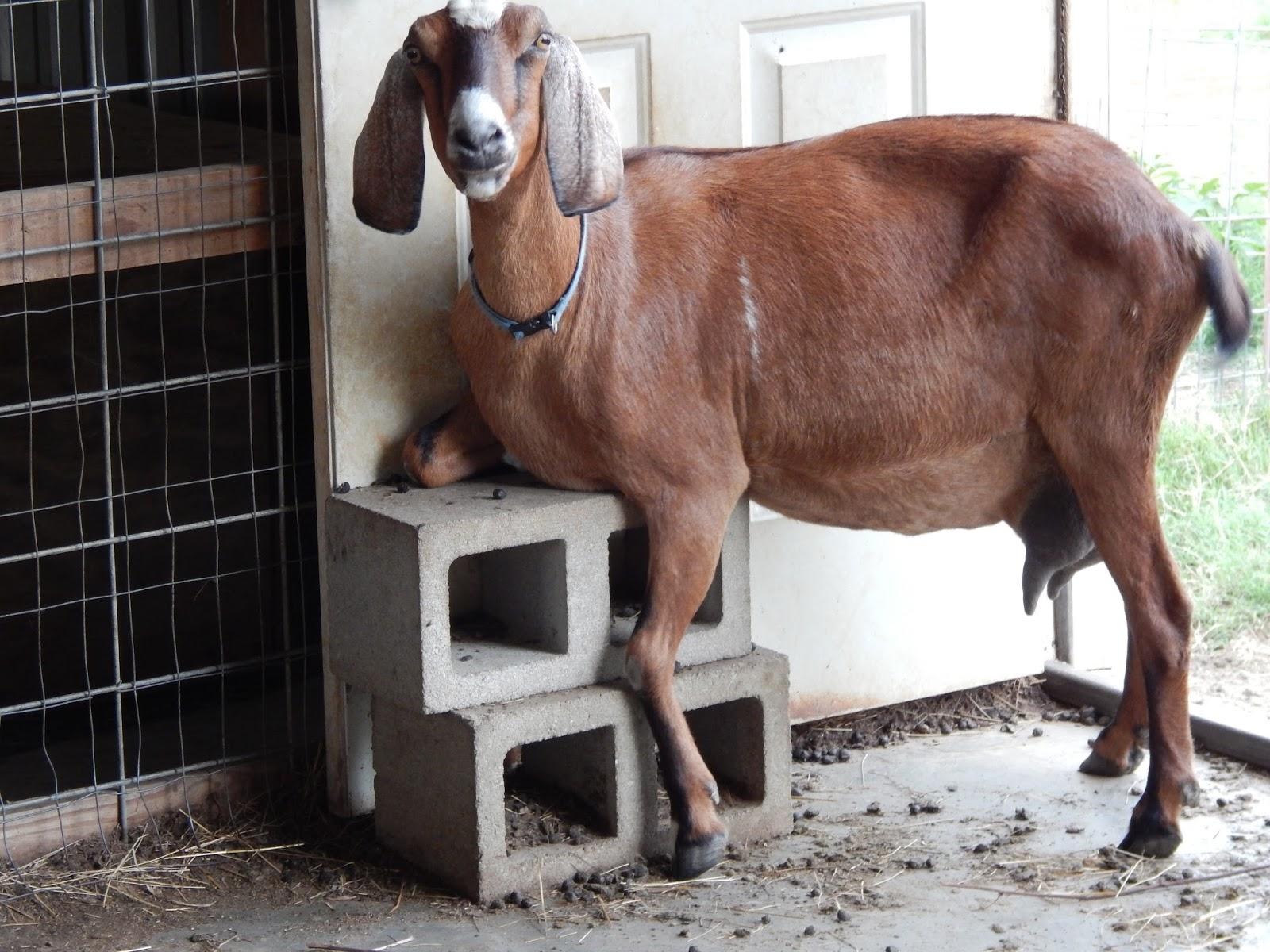Goat udders
