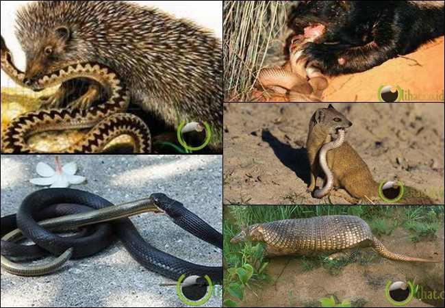 7 Binatang yang paling Ditakuti oleh Hewan Ular