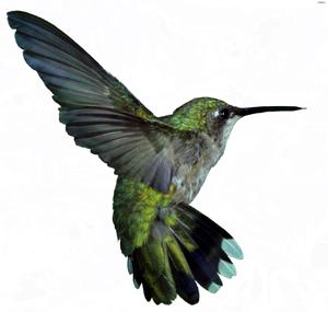 Colibri Google