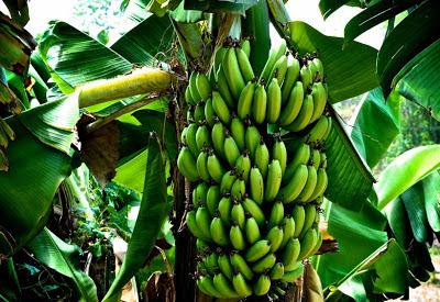 manfaat buah pisang yang menakjubkan