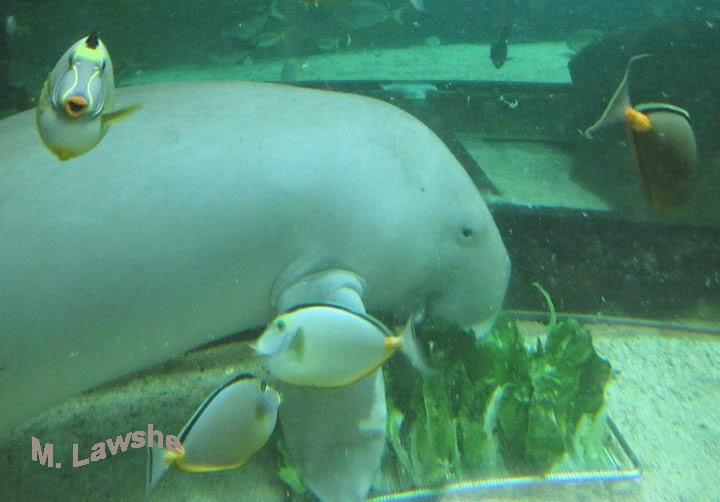 http://theearthminute.blogspot.com/2014/11/meet-dugong.html
