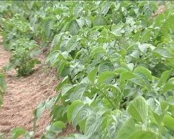 Αρχές Απριλίου βγαίνει η μεσσηνιακή πατάτα